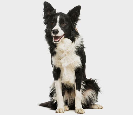 Black and white dog sitting - About vip for pets Cta