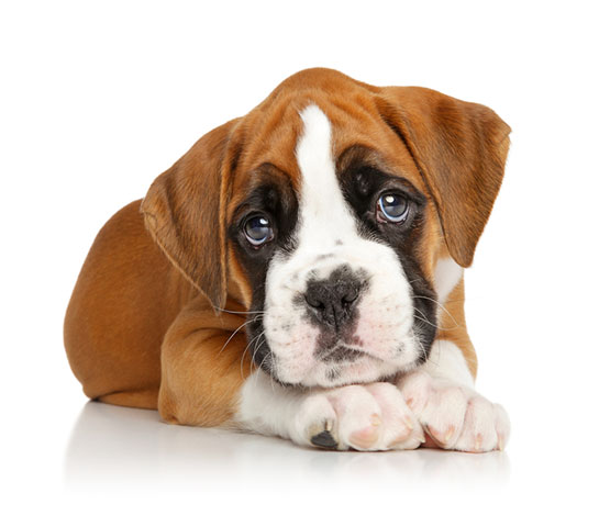 Boxer Dog - Breeder & Puppy Ratings Cta