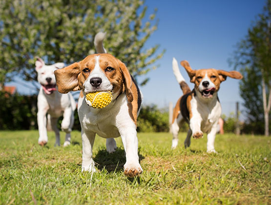 Three puppies playing with a ball - About VIP Puppies Cta