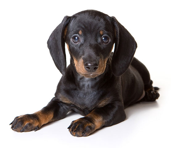 Black Dachshund puppy with blue eyes - free adoption advertising cta