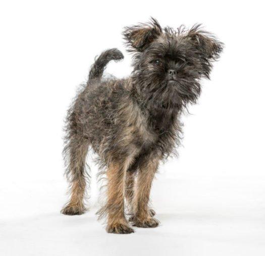 cute affenpinscher puppies for sale