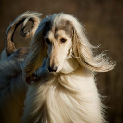 Saluki Breeder New York