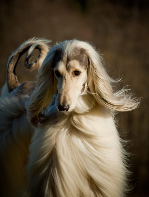 cute afghan hound puppies for sale