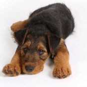 cute airedale terrier puppies for sale