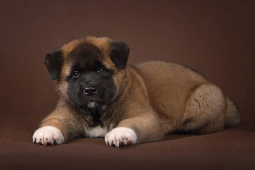 cute Akita puppies for sale
