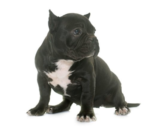 cute American Bully puppies for adoption