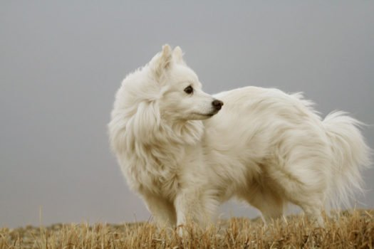 cute American Eskimo Dog Puppies for sale