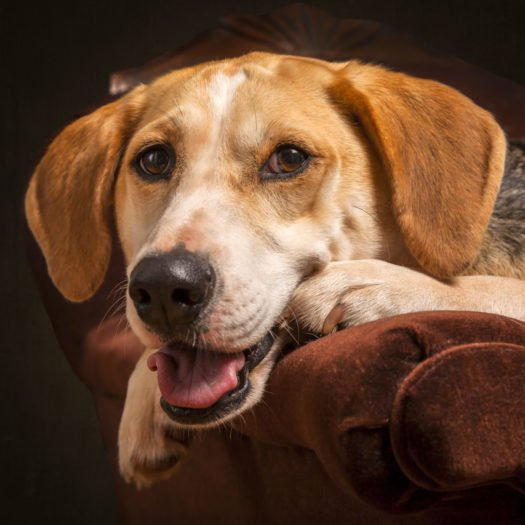 cute American Foxhound puppies for sale