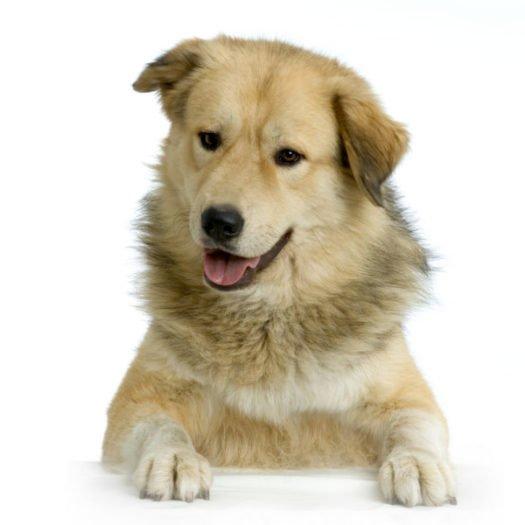 cute Anatolian Shepherd Puppies for sale