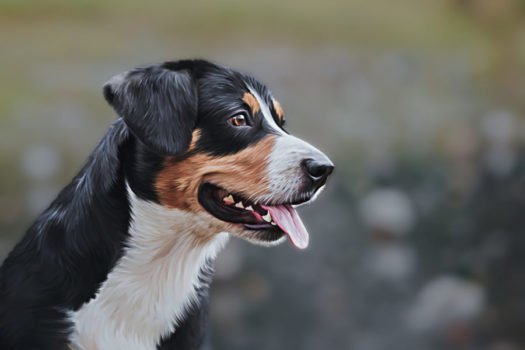 Appenzell Mountain Dogs For Sale Appenzell Mountain Dog