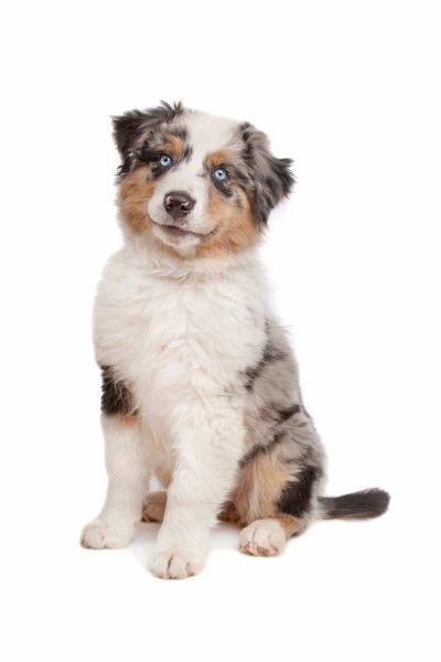 cute Australian Shepherd puppies for sale