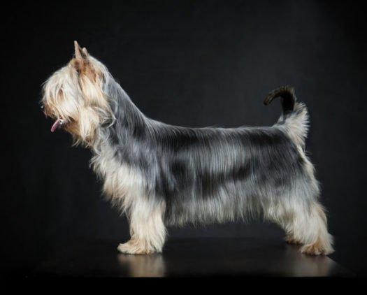 Australian Terriers For Sale Adopt Australian Terrier Puppies For