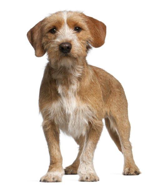 cute Basset Fauve De Bretagne puppies for sale