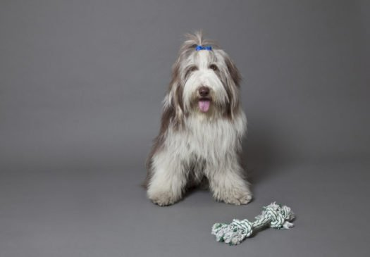 cute Bearded Collie Puppies for sale