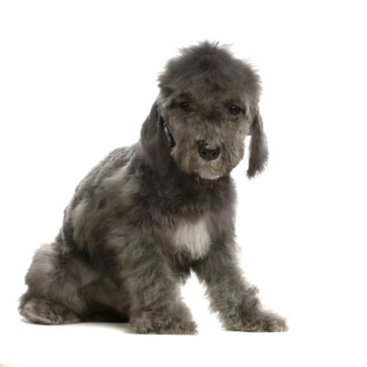cute Bedlington Terrier Puppies for sale