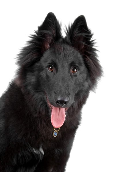 cute Belgian Shepherd Puppies for adoption