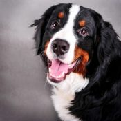cute Bernese Mountain Dog puppies for sale