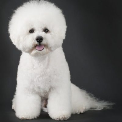 Hypoallergenic Dogs [45+ Breeds for those with Allergies