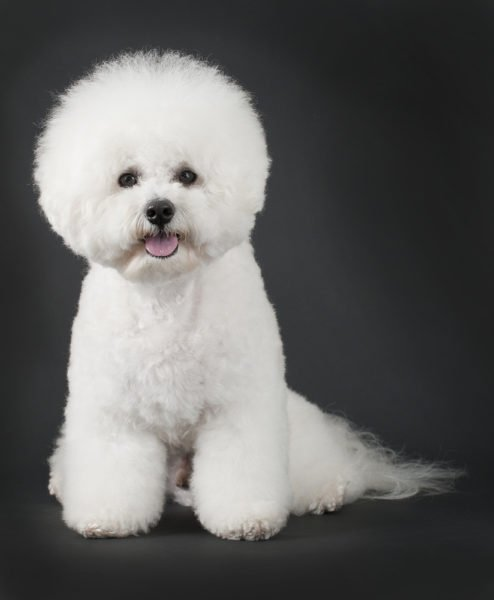 cute Bichon Frise Puppies for sale