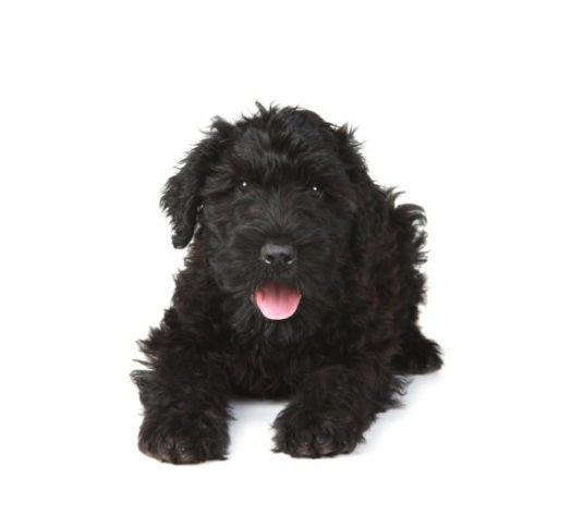 cute Black Russian Terrier Puppies for sale
