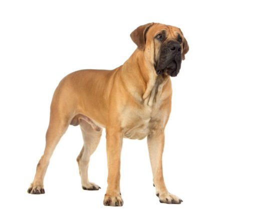 cute Boerboel puppies for sale