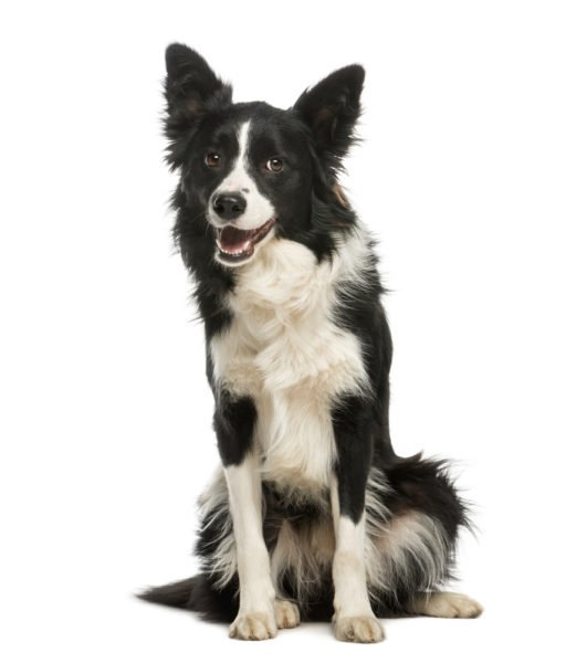 cute Border Collie Puppies for adoption