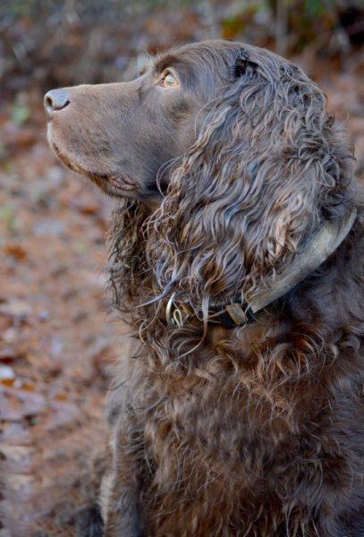 cute Boykin Spaniel puppies for sale