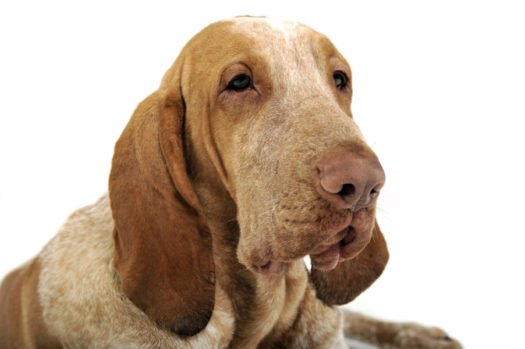 cute Bracco Italiano Puppies for sale