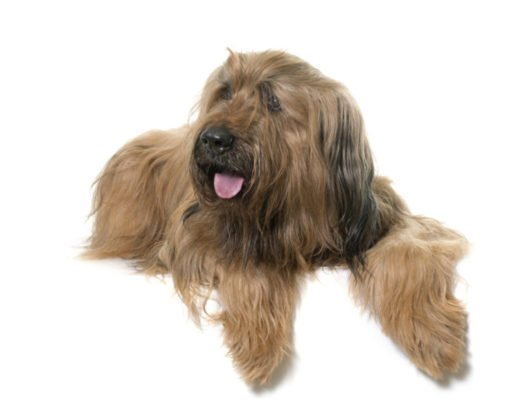 cute Briard Puppies for sale