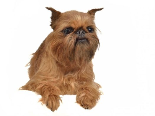 cute Brussels Griffon Puppies for Sale