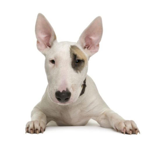 cute Bull Terrier puppies for sale