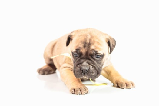 cute Bullmastiff Puppies for adoption
