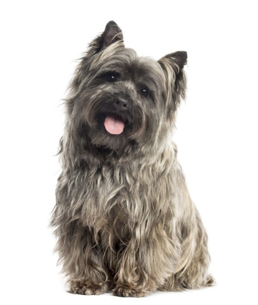 cute Cairn Terrier Puppies for sale