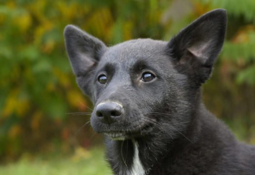 cute Canaan Dog Puppies for adoption