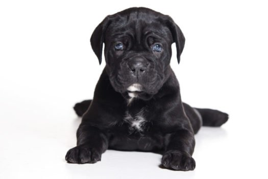 cute Cane Corso Italiano Puppies for sale