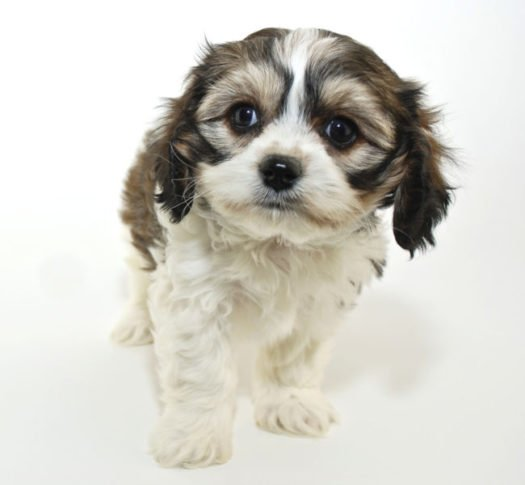 cute Cavachon Puppies for adoption