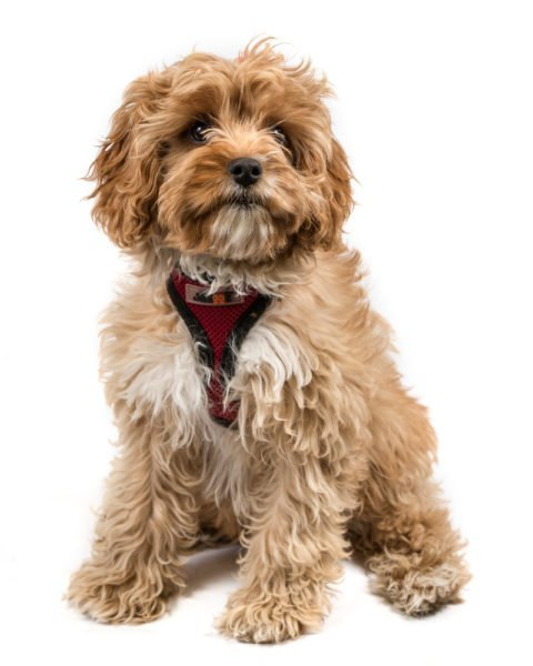 cute cavapoo puppies for sale