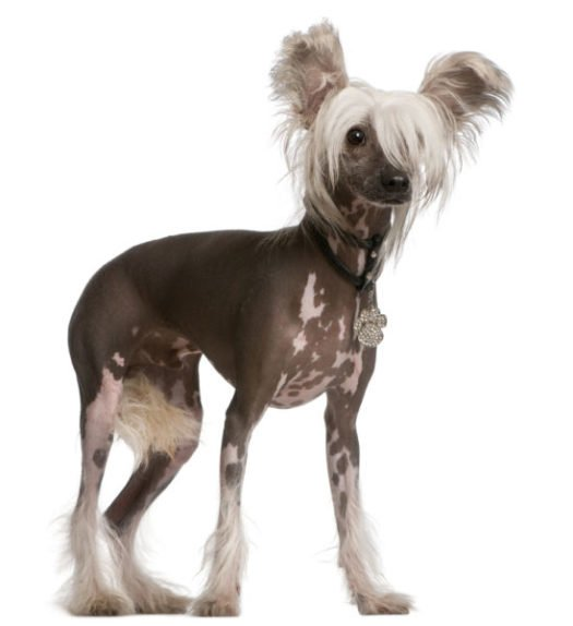cute Chinese Crested Puppies for sale