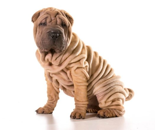 cute Chinese Shar Pei Puppies for sale