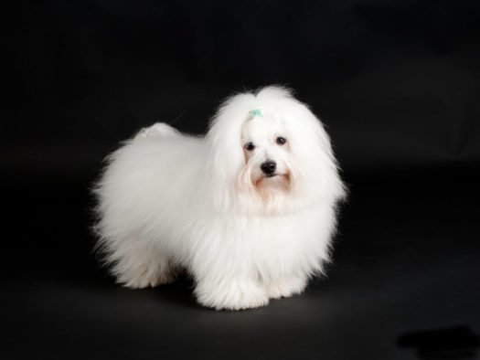 cute Coton De Tulear puppies for sale