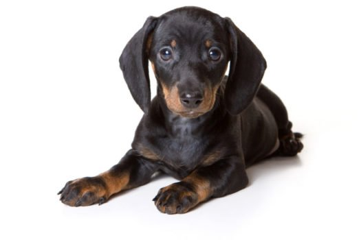 cute Dachshund Puppies for sale