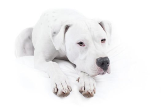 cute Doqo Argentino Puppies for sale
