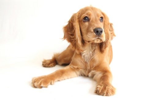 cute English Cocker Spaniel Puppies for sale