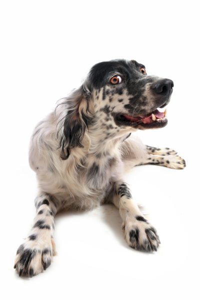 cute English Setter Puppies for adoption
