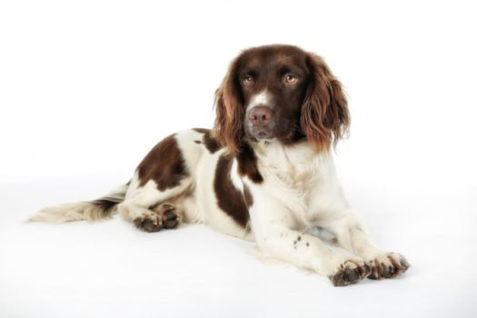 cute English Springer Spaniel Puppies for sale