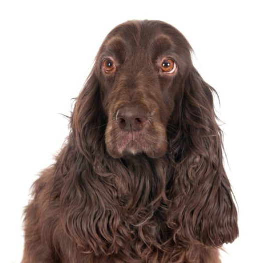 cute Field Spaniel Puppies for sale