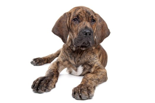 cute Fila Brasileiro Puppies for sale
