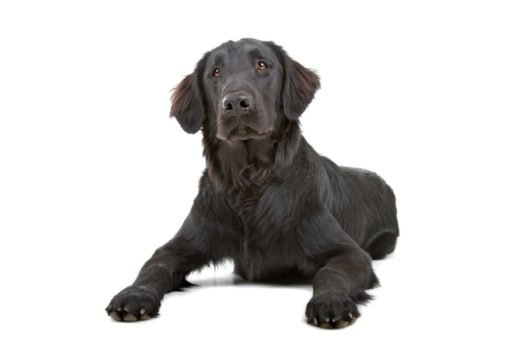 cute Flat Coated Retriever Puppies for Sale