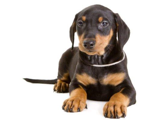 cute German Pinscher Puppies for sale