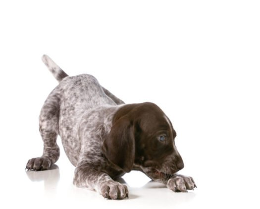 cute German Shorthaired Pointer puppies for sale